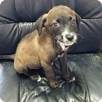 Adopt A Pet :: Kaluha - San Antonio, TX