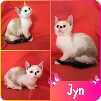 Domestic Shorthair Kitten for adoption in Jeffersonville, Indiana - Jyn