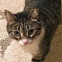 Adopt A Pet :: Pretty Girl - Merrifield, VA