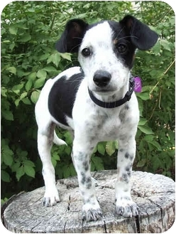Jack Russell Terrier/Rat Terrier Mix Puppy for adoption in Provo, Utah - LIZZY