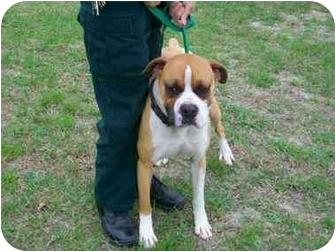 Boxer/Bulldog Mix Dog for adoption in Macclenny, Florida - C0917