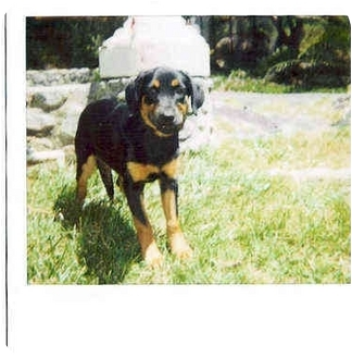 Rottweiler Puppy for adoption in Alpine, California - Pebbles