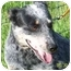 Photo 2 - Australian Cattle Dog Dog for adoption in Hayden, Idaho - Chica
