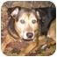 Photo 1 - Sheltie, Shetland Sheepdog/Shepherd (Unknown Type) Mix Dog for adoption in Osseo, Minnesota - Petey