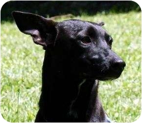 Chihuahua/Terrier (Unknown Type, Medium) Mix Dog for adoption in Worcester, Massachusetts - Nate
