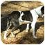 Photo 4 - Hound (Unknown Type) Mix Dog for adoption in Hamburg, Pennsylvania - BANJO