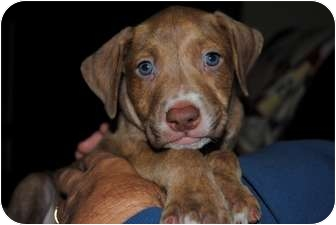 Pit Bull Terrier Mix Puppy for adoption in Orlando, Florida - Clutch