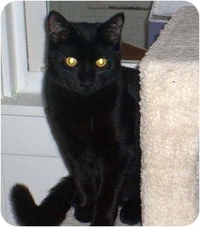 Domestic Shorthair Cat for adoption in Troy, Michigan - Sita