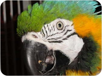 Macaw for adoption in Vancouver, Washington - ROBERT