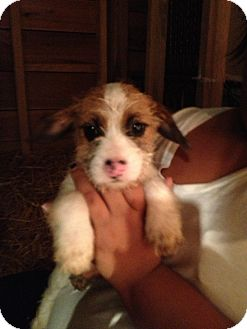 Shih Tzu/Rat Terrier Mix Puppy for adoption in Alamosa, Colorado - Clyde