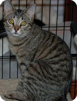 Domestic Shorthair Cat for adoption in Fort Wayne, Indiana - Spangles