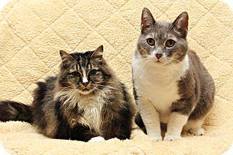 Domestic Shorthair Cat for adoption in Bellingham, Washington - Yogi