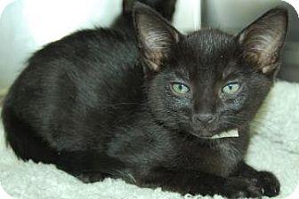 Domestic Shorthair Kitten for adoption in Bradenton, Florida - Deek