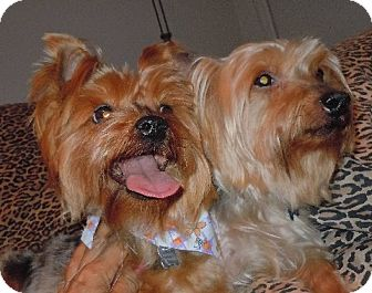 Yorkie, Yorkshire Terrier Dog for adoption in Van Nuys, California - Coco & Chanel