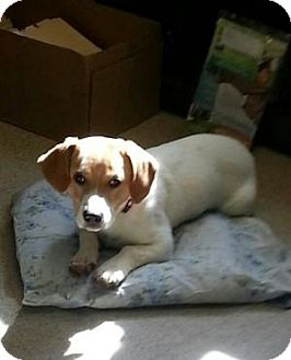 Beagle Mix Puppy for adoption in Elmwood Park, New Jersey - Halo