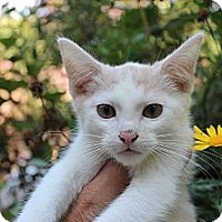 Adopt A Pet :: Dane - Santa Monica, CA