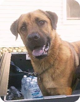 Shepherd (Unknown Type) Mix Dog for adoption in East Windsor, Connecticut - Dozer