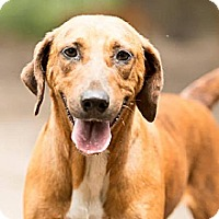 Hound (Unknown Type) Mix Dog for adoption in Havana, Florida - Babe