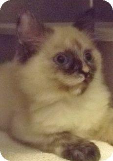 Siamese Kitten for adoption in Grants Pass, Oregon - Jingle