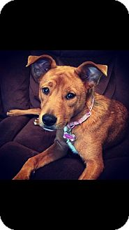 Basenji Mix Dog for adoption in Franklin, Tennessee - Coco