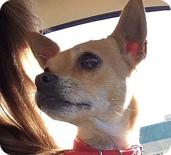 Chihuahua/Pug Mix Dog for adoption in San Marcos, California - Lucy