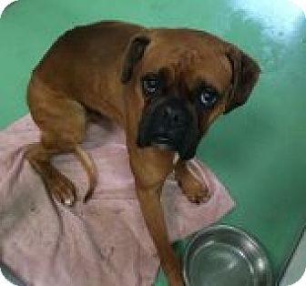 Boxer Dog for adoption in Encino, California - Parker