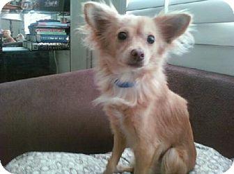 Papillon/Pomeranian Mix Dog for adoption in Long Beach, California - Tiny Tim