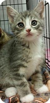 Domestic Shorthair Kitten for adoption in Hillside, Illinois - Sebastian - 9 WEEKS