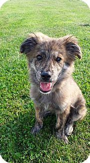 Dutch Shepherd Mix Puppy for adoption in New Oxford, Pennsylvania - Aiden