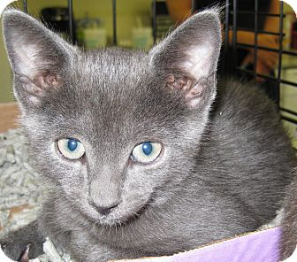 Russian Blue Kitten for adoption in Randolph, New Jersey - King and Duke- together