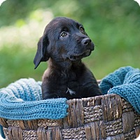 Adopt A Pet :: Caramel - Lewisville, IN