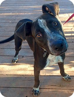 German Shorthaired Pointer/Labrador Retriever Mix Dog for adoption in Santa Ana, California - Harley