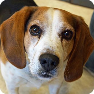 Beagle Mix Dog for adoption in Sprakers, New York - Buddy