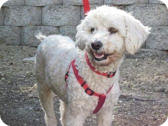 Bichon Frise/Poodle (Miniature) Mix Dog for adoption in Carlsbad, California - Rachel
