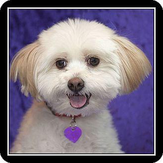 Maltese/Havanese Mix Dog for adoption in Covina, California - GUS