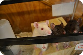 Rat for adoption in Broadway, New Jersey - Female Baby Rats