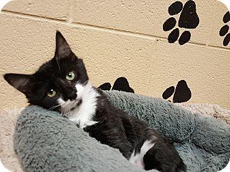 Domestic Shorthair Kitten for adoption in Smithfield, North Carolina - Zee