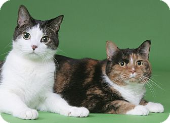 Domestic Shorthair Cat for adoption in Chicago, Illinois - Cash & Patches