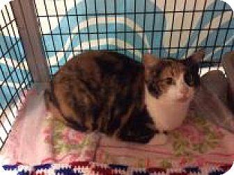 Domestic Shorthair Cat for adoption in Janesville, Wisconsin - Neytiri