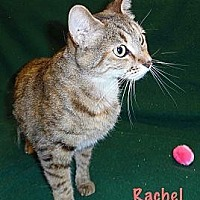 Adopt A Pet :: Racheal - Anderson, IN