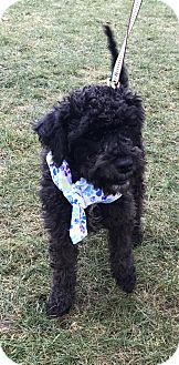 Poodle (Miniature)/Terrier (Unknown Type, Small) Mix Dog for adoption in Tumwater, Washington - Baron