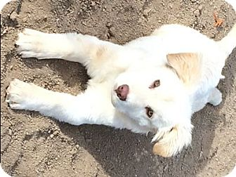 Golden Retriever/Great Pyrenees Mix Puppy for adoption in Evergreen, Colorado - Patagonia