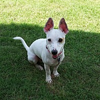 Adopt A Pet :: Jester in Sherman, TX - Dallas/Ft. Worth, TX