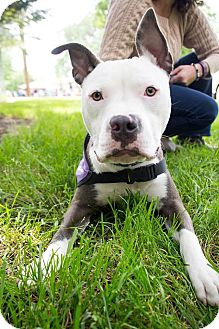 American Pit Bull Terrier Mix Puppy for adoption in Lincoln, California - Woodson-good w/ dogs & cats!