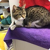 Adopt A Pet :: Chou Chou - University Park, IL