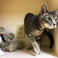 Adopt A Pet :: Sienna - North Wilkesboro, NC