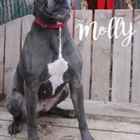 Adopt A Pet :: Molly - Pomona, NY