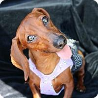 Adopt A Pet :: Edith Gru - Houston, TX