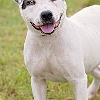 Adopt A Pet :: Chris - Pryor, OK