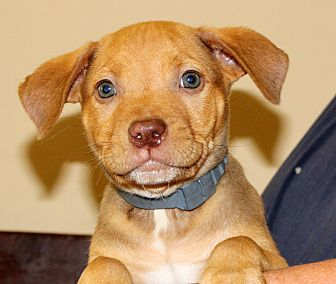 Bulldog/Labrador Retriever Mix Puppy for adoption in Southbury, Connecticut - Copper~adopted!